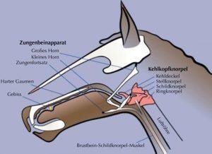 Anatomie, Zungenbein